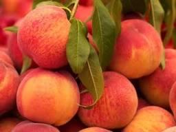Orange variety valencia. I will send all sizes to any port . - photo 2