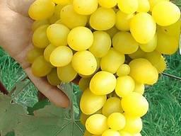Orange variety valencia. I will send all sizes to any port . - photo 3