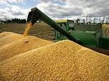 Кукуруза - photo 3