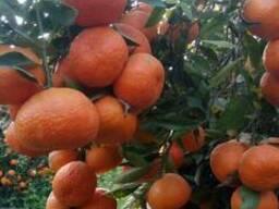 Mandarines Morket