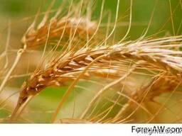 Soft Milling Wheat 12, 5% & 11, 5% pro